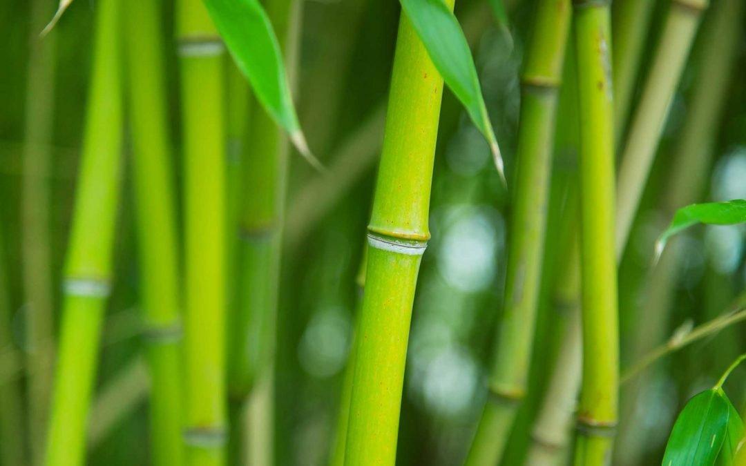 Sostenibilidad, Bambu