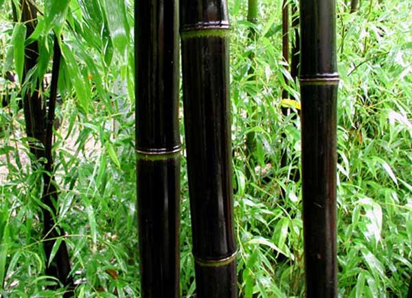 ¿Sabías que existe el bambú negro?